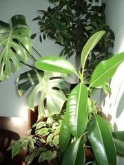 Растения для дома и офиса!-различных размеров! Саженцы лимона!