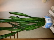 Комнатное растение - Сансевиерия