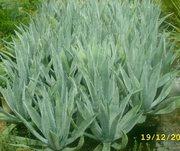 Декоративные растения из Сочи
